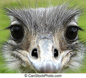 This is a full face shot of a South American Rhea