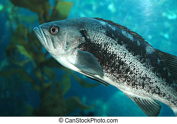 Black Sea Bass - This is a Pacific Black Sea Bass found off ...