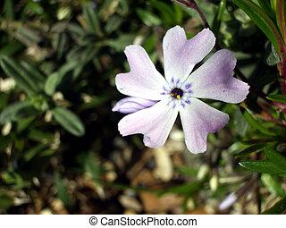 Phlox flower - This is a Phlox flower.