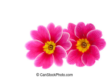 This is a photo of the flower of Primula.