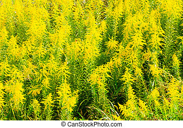 This is a photograph of a community of goldenrod.