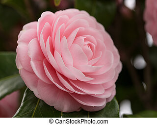 double-flowered camellia - This is a photograph of a double-...