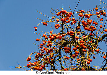 This is a photograph of a scene that fruit has a lot of grew on persimmon tree.