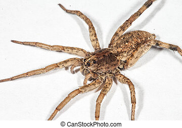This is a photograph of a Wolf Spider isolated on a white background.