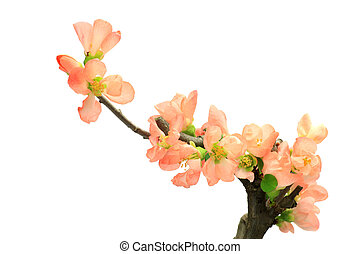 flower of the Japanese quince - This is a small bonsai. I ...