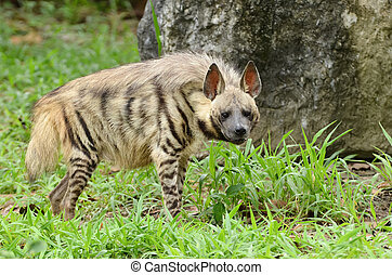 striped hyena - this is a striped hyena