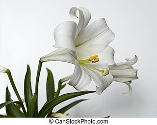 This is a very detailed closeup of an Easter Lilly on a neutral background.