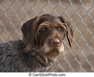 German Wirehair Pointer - This is a very old looking, but ...