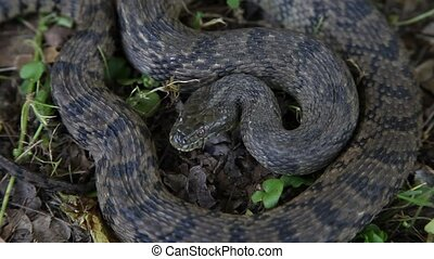 Diamondback Water Snake - This is a video of a Diamondback...