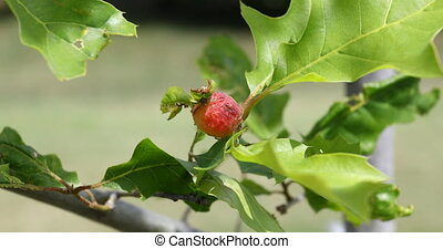 Gall spot on an oak tree - This is a video of a Gall spot on...