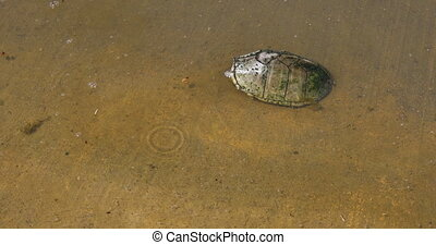 Mud Turtle in water - This is a video of a Mud Turtle in ...