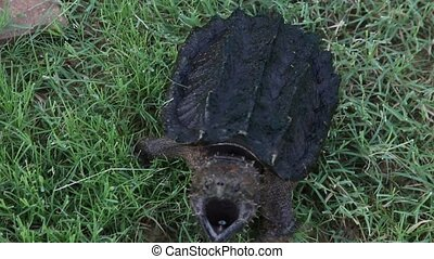 Alligator Snapping Turtle walking - This is a video of a...