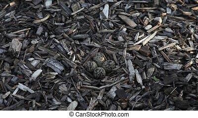 Kildeer eggs - This is a video of Kildeer eggs hidden in...