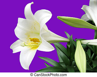 This is an Easter Lilly isolated on a purple background.