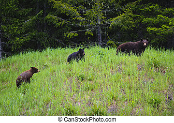 Black Bear Mother and Cubs feeding on grass and clover in the rain. British Columbia, Canada