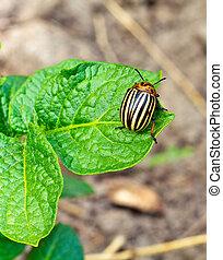 This is colorado beetle on leaf.