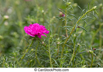 This little pink flower, Little Hogweed plant is used as ...