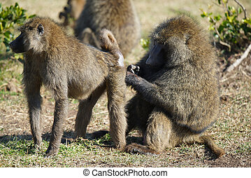 This male baboon is standing on the grass. Let the female baboon groom his rump.