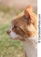 This orange tabby cat's name is not White Whiskers but that's what jumps out at me when I look at this side view portrait.