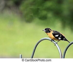 Black Headed Grosbeak - This Pheucticus Melanocephalus or ...