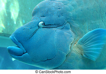 """This unusual looking, but beautiful Hump-Headed Maori Wrasse, is also known as """"Napoleon Wrasse"""". This colorful fish is known for its bulging forehead."""