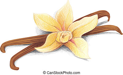 Vanilla Pod - This Vanilla Pod Vector Image was digital...