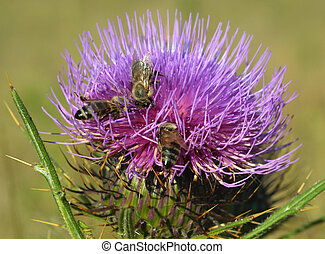 Thistle and bees