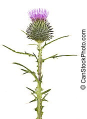 Thistle blooming - A high resolution image of a thistle...