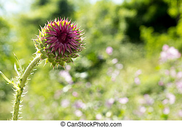 Thistle buds and flowers on a summer field.