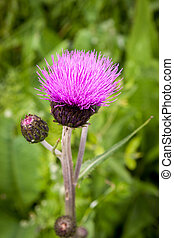 Thistle buds and flowers on a summer field. Thistle plant is the symbol of Scotland.