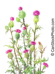 thistle, Carduus. Watercolor botanical illustration of...