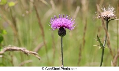 thistle flower - flower of a thistle growing in a field