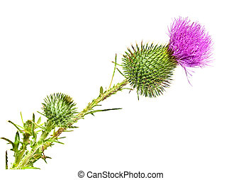 Thistle flower - Fresh thistle flower isolated on white...