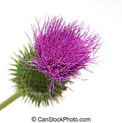 Thistle Flower - Single thistle flower isolated on white...