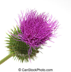 Thistle Flower - Single thistle flower isolated on white...