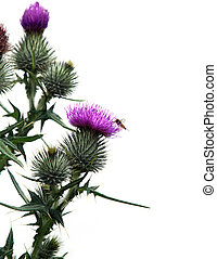 Thistle - Flowering thistle