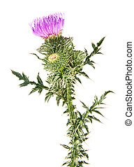 thistle flowers isolated on white background