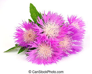 thistle flowers on a white background