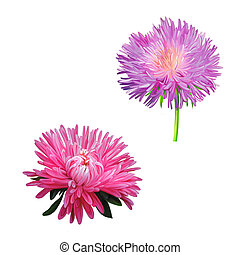 Thistle flowers, Pink Daisy, Illustration isolated on white