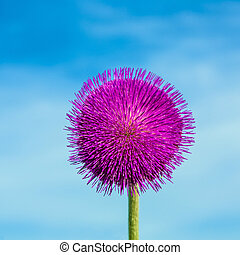 thistle in meadow in morning light