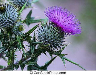 Thistle of Scotland - One of the great Emblems of Scotland...