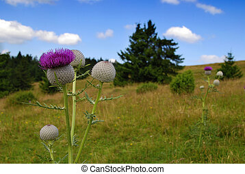 Thistle on the meadow