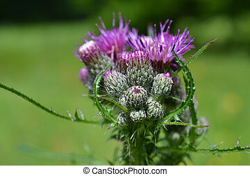 Thistle or Acanthoides button. - On the estate in...