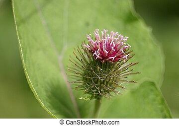 Thistle - Purple Thistle Flower