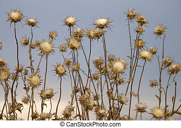 Thistle plants, Tuscany, Italy. - Thistle plants in Tuscany,...