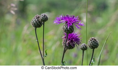 Thistle flowers swaying in the wind