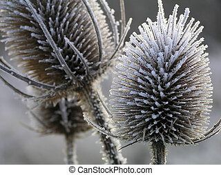 Thistle with ice in a close-up