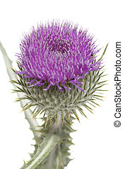 thistle - purple,single prickly thistle on white background
