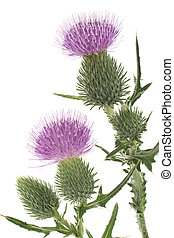 thistle - Studio Shot of Purple Colored Thistle Isolated on...