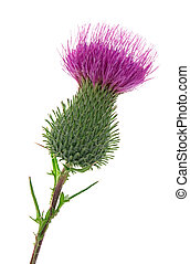 thistle - Studio Shot of Thistle Isolated on White...